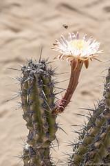Baja California Sur, Mar de Cortez-17.jpg (gaillard.galopere) Tags: cactus fleur beautiful mexico bee bajacalifornia baja bajacaliforniasur insecte fleurdecactus gaillardgalopere mexcapade