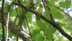 Kentucky Warbler, singing (Bufflehead66) Tags: iowa woodwarbler wildcatden