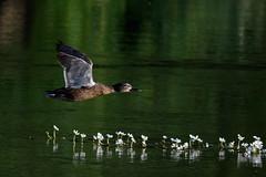 _F0A2833.jpg (Kico Lopez) Tags: birds rio spain aves galicia lugo mio anasplatyrhynchos anadeazulon