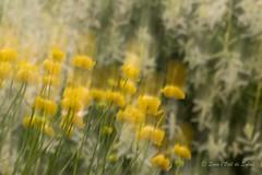 Comme un Rve un peu Flou (Sous l'Oeil de Sylvie) Tags: mouvement blur flou rve dream jaune yellow fleurs flowers vedure sousloeildesylvie pentax ks2 boug abstraction abstract art stgeorges beauce qubec juin june printemps 2016