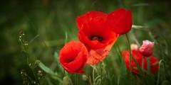 West Flanders canal side poppies (wellingtonandsqueak) Tags: belgium poppies c1 damme