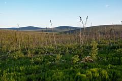 Rolling Green (Lee Petersen) Tags: green alaska spring whitemountains hills spruce rolling taiga nomecreek