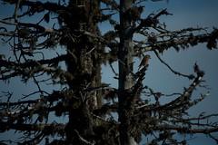 Bec crois des sapins (Samuel Raison) Tags: nature montagne nikon vercors hautsplateauxduvercors nikond3 beccrois nikonpassion nikon41635mmafsgvr nikon4200400mmafsgvr