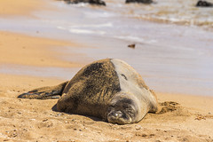 monkseal8Jun17-16 (divindk) Tags: hawaii hawaiianislands kauai neomonachusschauinslandi beach cute endangeredspecies hawaiianmonkseal lazy marine marinemammal monkseal seal sunshine whiskers