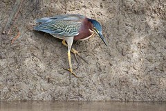 Green Heron (arthurpolly) Tags: avian avianexcellence anawesomeshot birds beautiful canon costarica elements13 eos 7dmk2 100400is flickrdiamond greenheron holiday nature natureselegantshots naturesfinest nationpark platinumphoto unforgettablepictures wildlife exotic