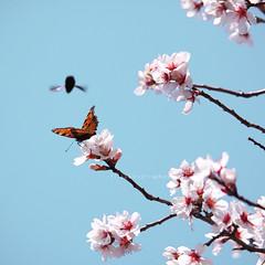 The damper... :-D (Elisa Severi) Tags: flowers blue sky orange primavera nature rose butterfly spring wings blu rosa natura ali cielo hornet fiori azzurro farfalla arancione calabrone canonef70200l elisaseveri