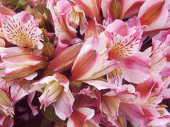 Pattern of Pink Flowers (shaire productions) Tags: life pink flowers plants plant flower macro nature floral leaves closeup photography photo petals natural image petal photograph vegetation imagery