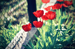 Life of tulips... (Irina Miller) Tags: life red plant flower art nature vintage 50mm photo spring nikon bokeh memory tulip romantic irur irurart irurphotography