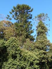 Araucaria bidwillii 8 (barryaceae) Tags: wingham brush nature reserve australianrainforestplants australian rainforest plants species new south wales australia ausrfps araucaria bidwillii bunya pine araucariaceae conifer conifers