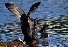 The mount (Alan.Edmondson) Tags: black bird beach nature water birds closeup reflections river reeds fun duck wings nikon flickr action wildlife flight beak ducks sigma mount climbing devon bbc handheld marsh splash winged 500mm coot waders newton waterbirds courting bif abbot stover courtship rspb blackwinged nbw hsm avianexcellence 150500 distinguishedpictures d7000 distinguishedbirds birdperfect iplymouth newtoabbot