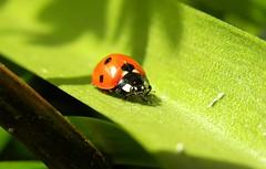 Ladybug on Grass Stem (Doolallyally) Tags: macro ladybird grassstem