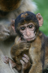 Thinking... (Axel_Hahn) Tags: baby mammal monkey sad looking natural character wildlife young posing junior ape primate affe autofocus nachwuchs barbarymacaque tierkind allnaturesparadise flickrstruereflection1 berberaffenbaby