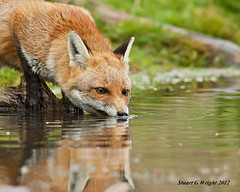 Red Fox (Stuart G Wright Photography) Tags: pool wildlife redfox drinkingwater stuartgwrightcom stuartgwright