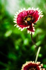 _DSC0012 (Kohji Iida) Tags: summer plants flower green nature japan 50mm nikon bokeh awesome nikkor f18 kohji tsuchiura ibaraki iida d90 bokehlicious