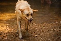 Just shake it off (Reggie Bishop) Tags: park dog wet md nikon labrador state maryland retriever falls valley 200 55 cascade vr patapsco d5000 elkride