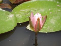 Water lily (ddsnet) Tags: plant flower waterlily sony taiwan cybershot   taoyuan aquaticplants        lily water    nymphaeatetragona    nymphaea plants   hx100v aquatic nymphaea tetragona tetragona