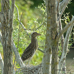 _DSC0014-Modifica (Silvio Veschi) Tags: natura uccelli nitticora mygearandme