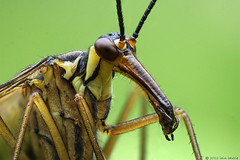 beauty, not a beast (Insect~O~Saurus) Tags: light portrait macro nature scotland natural naturallight handheld mpe65mm panorpa tonemap zerene focusstacked canoneos500d july2012 iainlawrie recordr:count=1 recordr:determiner=iainlawrie recordr:gridref=nj91883954 recordr:species=panorpa