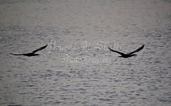 Birds (TorresKw) Tags: sea sky bird birds kuwait q8   kuw