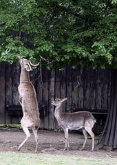 Pro dobrtku...ZOO Praha (jozefsebin) Tags: male animal animals female zoo prague prag praha deer burmese cervus jelen samec eldi samice thamin lyroroh