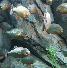 fish animals piranha