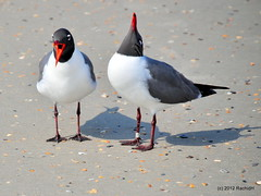 DSC_0215 (rachidH) Tags: beach nature birds laughing nc gulls northcarolina wrightsvillebeach mouette larus larusatricilla laughinggull mouetteatricille rachidh