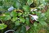 Hosta12July440 (moccasinlanding) Tags: glossy fragrant bloom hosta scape lavenderlight irishluck greendark