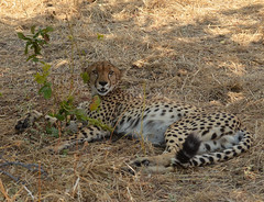 Slimline (Tris Enticknap) Tags: cats cat tanzania wildlife safari cheetah bigcats ruaha mwagusi tanzanianwildlife mwagusitanzania tanzanianwildlif httpwwwtrissystravelsblogspotcouk