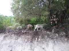 Sardinie (Maci (VP)) Tags: sardegna sardinia goat sardinie