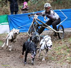 IMG_0450 (Sport + Event- Bilder) Tags: energie europameisterschaft musher hunde 2012 laufen sieg matsch huskie kampf einsatz leidenschaft