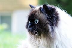 Violette (chicozen) Tags: pet cats cute animal cat kitten feline chat kitty himalayen catnipaddicts