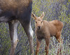 Moose Calf and