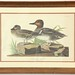 "124.  ""American Green winged Teal"" Lithograph"