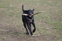 Lucy the Lab (Bill Pell) Tags: dog playing running blacklab stick dogpark fetch