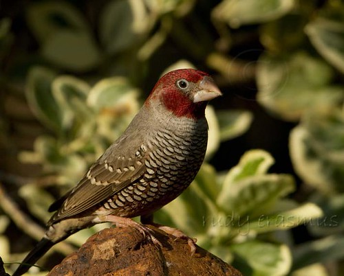 Red-headed Finch male_0029
