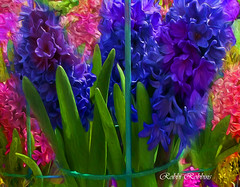 flowers flower nature floral collage photoshop garden photography colorful topaz hyacinths photmanuplation