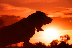 Elvis (Cruzin Canines Photography) Tags: sunset portrait sky dog pet pets sunlight dogs nature animal animals silhouette canon outside outdoors sundown hound elvis naturallight canine domestic telephoto tamron bassethound bakersfield goldenhour califorina hounddog domesticanimal riverwalkpark canon5ds tamron28300mmf3563divcpzd canoneos5ds