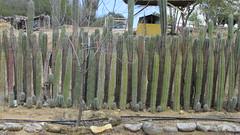 Bonaire Cultural Park (Stabbur's Master) Tags: cruising bonaire caribbeansea caribbeancruising carnivalcruiseline cactusfence dutchcaribbean caribbeannetherlands mangazinadireiculturalpark kuradiyatu