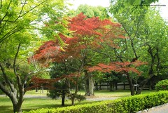 HANAMI, Momiji (acero giapponese rosso) nel parco (http://russogiuseppefotoeviaggi.wordpress.com/) Tags: park japan asia natura momiji hanami acero