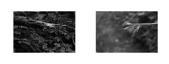 Forest diptych (kotmariusz) Tags: monochrome leaf diptych branch poland dyptyk