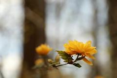 Ranunkelstrauch (honiigsonne) Tags: flower nature yellow garden spring dof outdoor natur gelb botany blume blte japonica garten kerrie strauch busch frhling botanik kerria japanische spiraeoideae rosengewchs goldrschen