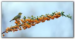 Silvereye on berries (tassie303) Tags: bird berries silvereye jerrabomberrawetlands ef100400mmf4556lisiiusm