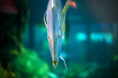 Thin Body (imageClear) Tags: fish chicago nature beauty swim aquarium illinois aperture nikon flickr visit handheld thin photostream sheddaquarium thinbody imageclear 2470mmvr april82016