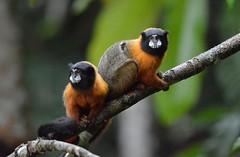 Golden-Mantled Tamarins near Napo Wildlife Lodge in Ecuadors Yasuni National Park. (One more shot Rog) Tags: nature monkey ecuador rainforest wildlife monkeys napo primates amazonbasin goldentamarins napowildlifelodge