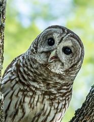 """Beaker""_MG_0175 (918monty) Tags: bird wildlife raptor owl birdsofprey barredowl blackeyes talons featheredfriends imprinted rescuebirds lucastexas blacklandprairieraptorcenter"