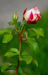 Cherry Parfait rosebud (Niki Gunn) Tags: flowers roses flower macro rose pentax may tamron 90mm k5 tamron90mm fireice 2016 fireandice cherryparfait tamron90mmf28 tamron90mmmacro tamronspaf90mmf28