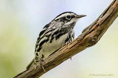 Black-and-white Warbler (Mniotilta varia) male (danielusescanon) Tags: ohio migration animalplanet hotspot blackandwhitewarbler mniotiltavaria mageemarsh birdperfect