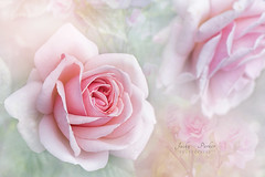 Rosa Aphrodite (Jacky Parker Floral Art) Tags: uk pink flower st rose closeup outdoors nikon feminine softness nopeople d750 delicate albans freshness selectivefocus naturephotography macrophotography floralart rnrs colorimage fragility beautyinnature horizontalformat flowerphotography focusonforeground summer2016 rosaaphrodite thegardenoftherose imagefocustechnique