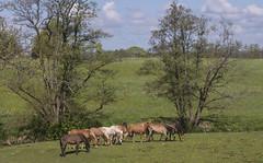 Ponies in Bjrketorp 5 (peter_hasselbom) Tags: horses horse team mark pony string ponies herd russ mares drove studfarm 105mm vstragtaland vstergtland gotlandsruss bjrketorp sjuhrad gotlandpony gotlandruss holmkra astudofmares