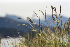 Grass & Mountains (rosshj) Tags: color colour film analog 35mm pie nikon ishootfilm scan 35mmfilm fm3a 400iso thelab nikonfm3a nikon105f25ais colornegative kodakportra400 beauphoto kodakportra nikon105mm vuescan primefilm nikon105mm25ais primefilmxe